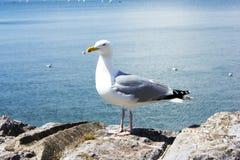 Anseende för seagull för havsfågel Arkivbilder
