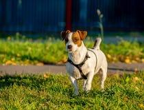 Anseende för sele för hund för Jack Russell terrier bärande på grönt gräs med gula sidor royaltyfri foto