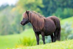 Anseende för Shetland ponny på den gröna kullen Arkivfoton
