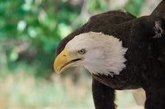 Anseende för skallig örn arkivbild