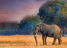 Anseende för tjurelefant på de öppna slättarna i den södra Luangwa nationalparken Royaltyfri Foto
