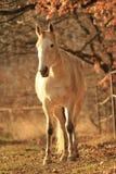 Anseende för vit häst i skogen fotografering för bildbyråer