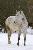 Anseende för vit häst i vinterlantgården Royaltyfri Fotografi