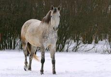Anseende för vit häst i vinterlantgården Arkivbild