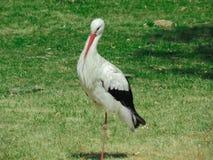 Anseende för vit stork på ett ben Arkivfoto