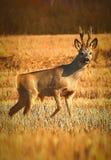 Anseende för Whitetailbockhjortar på jordbruks- fält Royaltyfri Foto