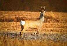 Anseende för Whitetailbockhjortar på jordbruks- fält Arkivfoto