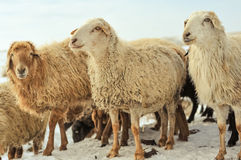 Sheeps på snowen Royaltyfri Bild