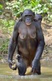 Anseendet för Bonobo (pannapaniscus) på henne ben i vatten med en gröngöling på en baksida arkivbilder