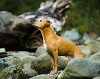 Anseendet för den amerikanPit Bull Terrier hunden vaggar in floden Royaltyfri Fotografi
