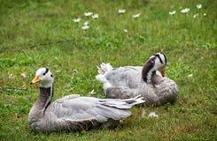 anser διευθυνμένο χήνα indicus ράβδω& Στοκ φωτογραφία με δικαίωμα ελεύθερης χρήσης