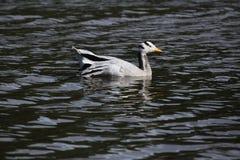 anser διευθυνμένο χήνα indicus ράβδω& Στοκ εικόνες με δικαίωμα ελεύθερης χρήσης