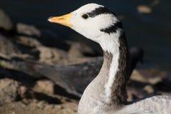 anser χήνα eulabeia ράβδων που διευθύν Στοκ φωτογραφίες με δικαίωμα ελεύθερης χρήσης