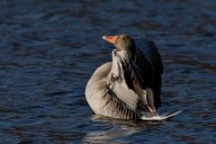 Anser Anser, птица воды гусыни Greylag одичалая Стоковая Фотография