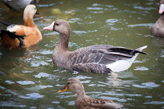 Anser albifrons, White-fronted Goose. Stock Photos