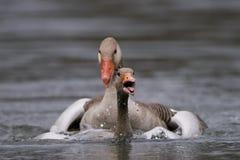 Anser Anser гусыни Greylag стоковое фото