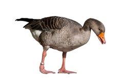 Anser anser - gray goose isolated on white background Stock Images