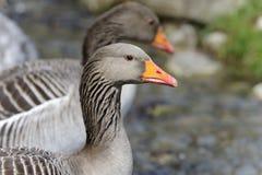 Anser anser, greylag goose Stock Photography