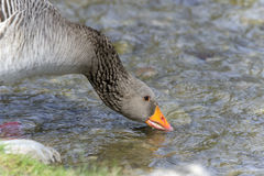 Anser anser, greylag goose Stock Photos