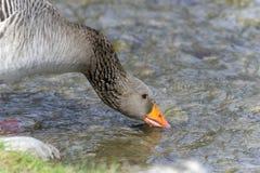 Anser anser, greylag goose Stock Photos