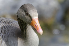 Anser anser, greylag goose Royalty Free Stock Photography