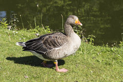 Anser anser, Greylag goose, Grey goose from Lower Saxony, Germany Royalty Free Stock Image