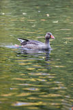 Anser anser, Greylag Goose. Royalty Free Stock Photography