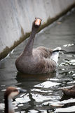 Anser anser, Greylag Goose. Stock Photos