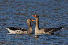 Anser anser, Greylag goose wild water bird. Itinerant water bird, species of a large, migrating water bird from the Anatidae family, a pair of geese Royalty Free Stock Images