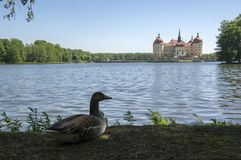 Anser anser species of large goose, big bird called greylag goose relaxing with birds friends in front of castle Moritzburg Royalty Free Stock Photos