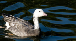 Anser caerulescens, Snow Goose Royalty Free Stock Photos