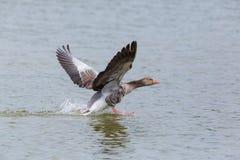 Anser cinzento do anser do ganso que corre na superfície da água Fotos de Stock Royalty Free