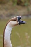 Anser cygnoides - αγροτική χήνα, Στοκ φωτογραφία με δικαίωμα ελεύθερης χρήσης