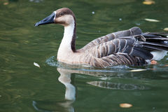 Anser cygnoides, Cygnopsis cygnoides, Swan. Royalty Free Stock Images