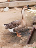 Anser cygnoides f. domestica - Chinese goose on the farm Royalty Free Stock Images