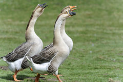 Anser cygnoides, swan goose Stock Photography