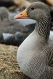 Anser del Anser del ganso de ganso silvestre cerca del lago Thingvallavatn fotografía de archivo libre de regalías