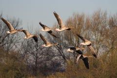 Anser del Anser dell'oca selvatica in volo fotografie stock