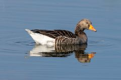 Anser del anser dell'oca selvatica sul lago tranquillo con la riflessione immagini stock