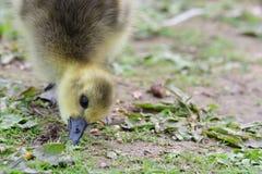 Anser del Anser del ganso de ganso silvestre fotografía de archivo libre de regalías