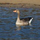 Anser del Anser, uccello acquatico selvaggio dell'oca selvatica fotografie stock libere da diritti