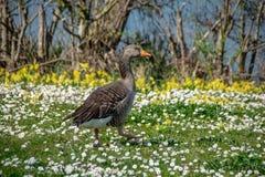 Anser do anser do ganso de pato bravo europeu que anda entre flores selvagens da margarida do tempo de mola foto de stock royalty free