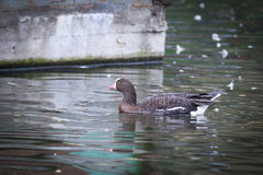 Anser erythropus, Lesser White-fronted Goose. Stock Photo