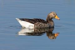 Anser för anser för grågåsgås på den stilla sjön med reflexion arkivbilder