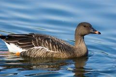 Free Anser Fabalis, Bean Goose Stock Photos - 16036873