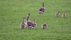Anser fabalis, Bean Goose stock footage