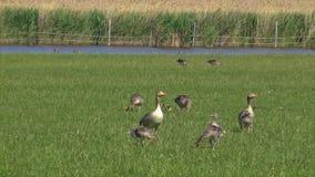 Anser fabalis, Bean Goose, Niederrheinfamilie stock footage