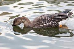 Anser fabalis, Bean Goose. Stock Image