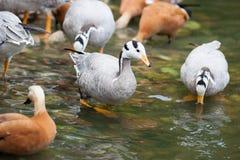 Anser indicus, Eulabeia indica, Bar-headed Goose. Stock Photography