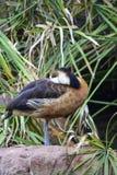Anseriformes för svart and för Anatidae royaltyfri foto